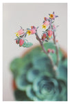 Echeveria On Pink #5 -  Fine Art Photograph