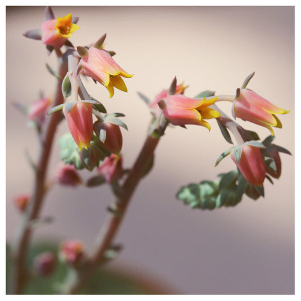 Echeveria On Pink #3 -  Fine Art Photograph