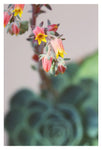 Echeveria On Pink #6 -  Fine Art Photograph