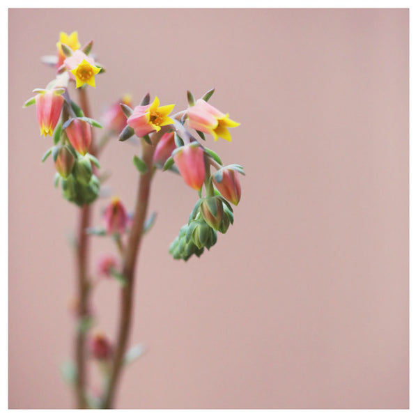 Echeveria On Pink #4 -  Fine Art Photograph