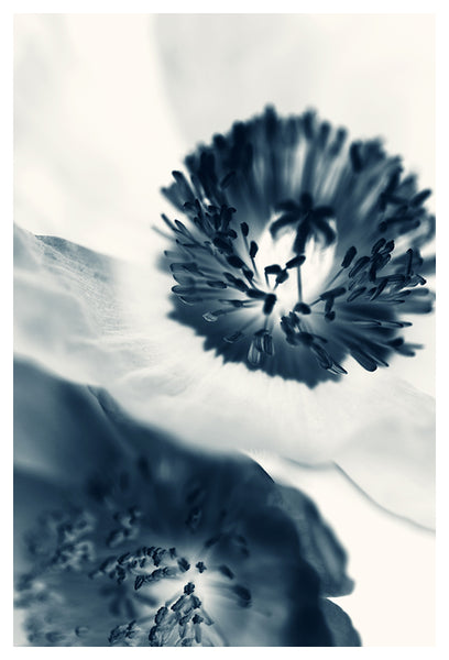 Cyan Poppy #4 - Fine Art Photograph