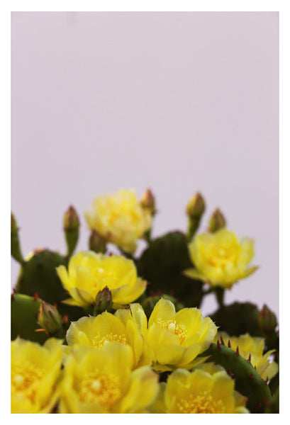 Prickly Pear #2 - Fine Art Photograph