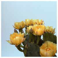 Prickly Pear #3 - Fine Art Photograph