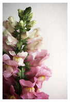 Snapdragon #3-  Fine Art Photograph