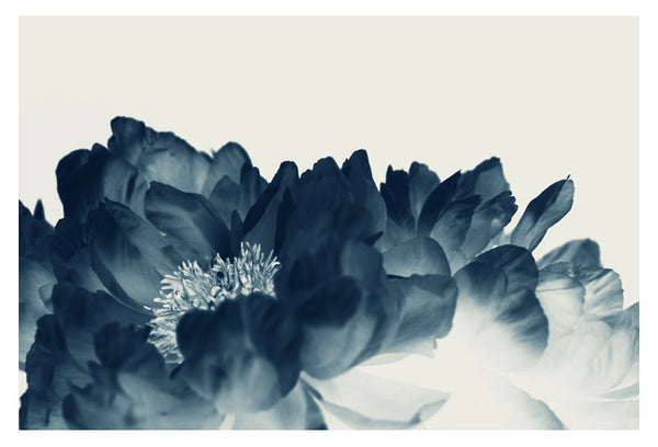 Blue Paeonia #1 -  Fine Art Photograph