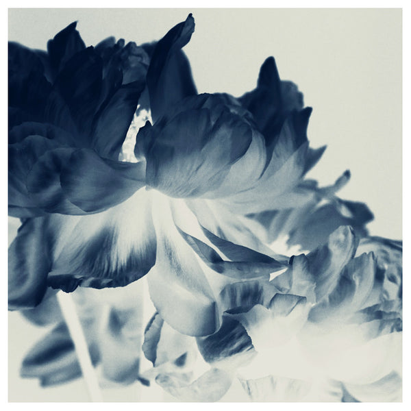 Blue Paeonia #2 -  Fine Art Photograph