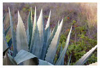 Agave Morning -  Fine Art Photograph