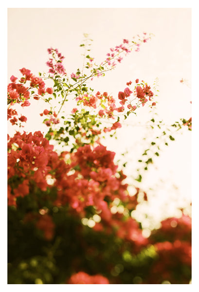 Bougainvillea Morning - Fine Art Photograph