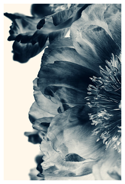 Blue Paeonia #7 - Fine Art Photograph