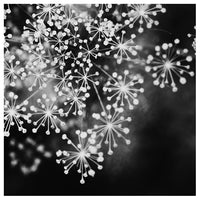 Dill #4 (BW) - Fine Art Photograph