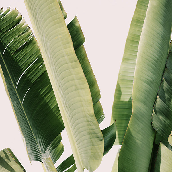 Banana Leaf #1 - Fine Art Photograph