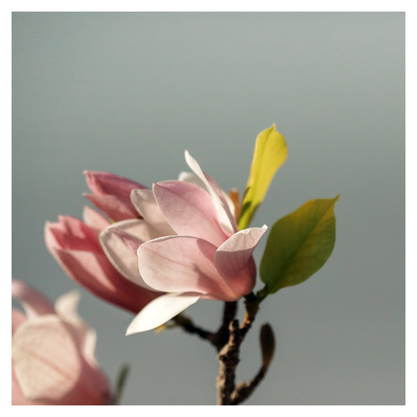 Blue Magnolia #1 - Fine Art Photograph