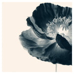 Cyan Poppy #1 -  Fine Art Photograph