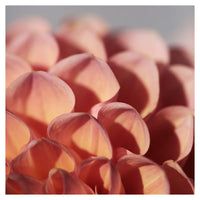Dahlia Light - Fine Art Photograph