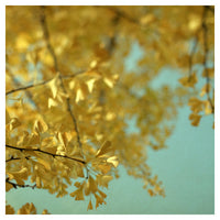 Ginkgo #4 - Fine Art Photograph