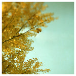 Ginkgo #2 - Fine Art Photograph