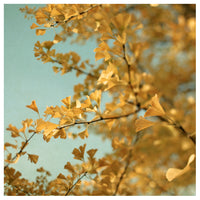 Ginkgo #3 - Fine Art Photograph
