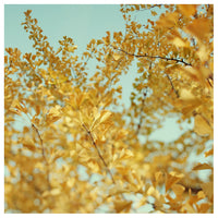 Ginkgo #5 - Fine Art Photograph