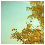 Ginkgo #1 - Fine Art Photograph