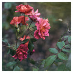 Late Autumn Rose #1 - Fine Art Photograph