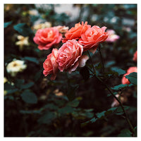 Late Autumn Rose #3 - Fine Art Photograph