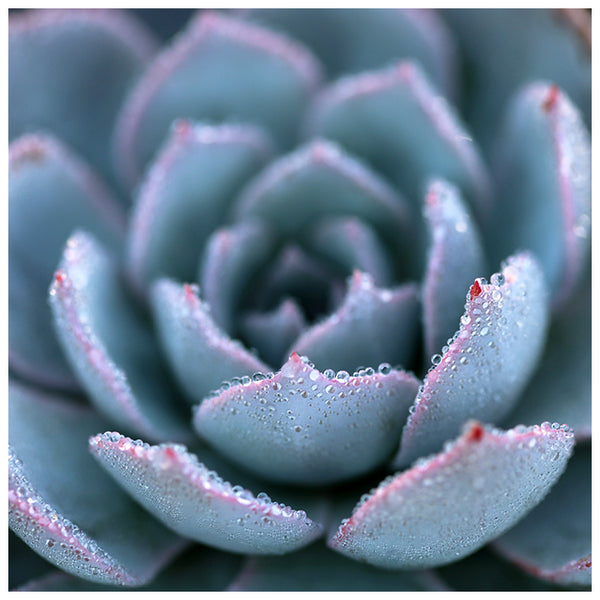 Morning Echeveria #2 - Fine Art Photograph