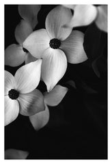 Dogwood #2 - Fine Art Photograph