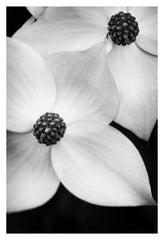 Dogwood #1 - Fine Art Photograph