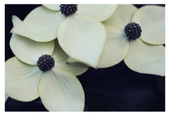 Dogwood #3 - Fine Art Photograph