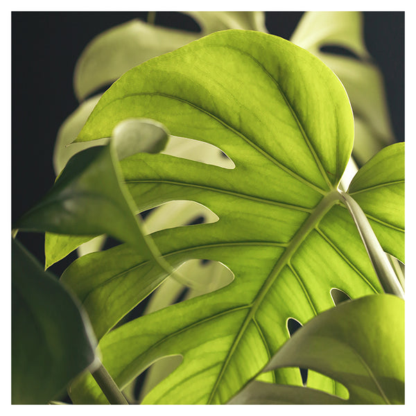 Monstera Layers - Fine Art Photograph
