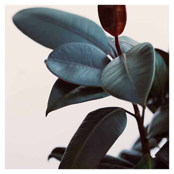 Night Ficus #1 -  Fine Art Photograph