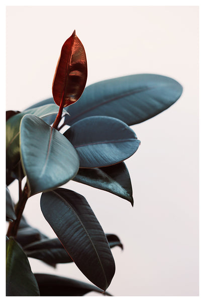 Night Ficus #2 - Fine Art Photograph