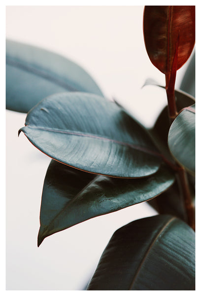 Night Ficus #3 - Fine Art Photograph