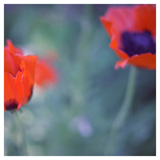 Poppies I - Fine Art Photograph