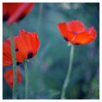Poppies II - Fine Art Photograph