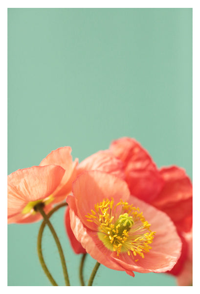 Pastel Poppy #2 - Fine Art Photograph