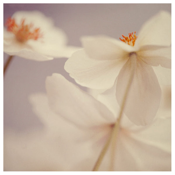Spring Beauty #3  - Fine Art Photograph
