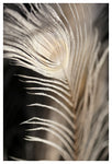 White Peacock #2- Fine Art Photograph