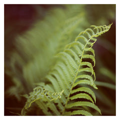 Fern #1 - Fine Art Photograph