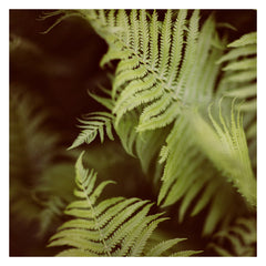 Fern #5 - Fine Art Photograph