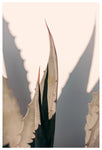 Agave Shadow - Fine Art Photograph