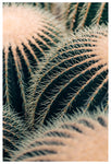 Barrel Cactus - Fine Art Photograph