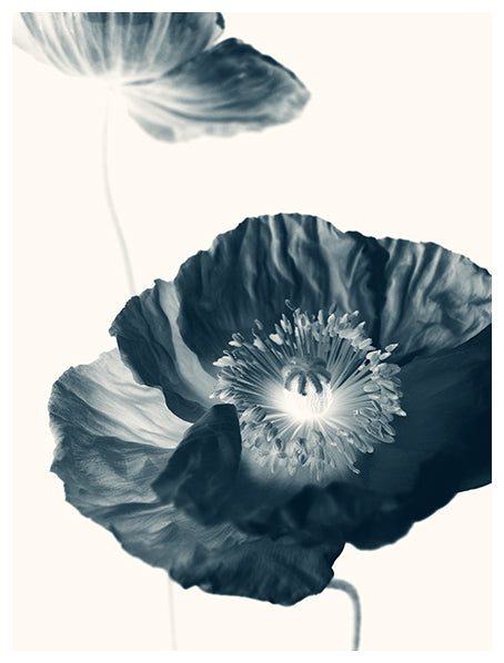 Cyan Poppy #2 -  Fine Art Photograph