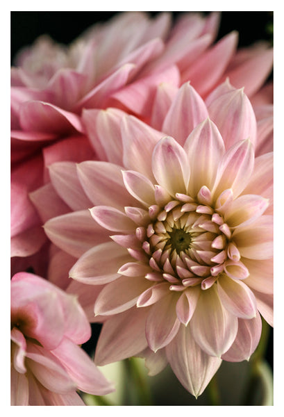 Dahlia Dream - Fine Art Photograph