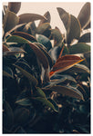 Ficus Light -  Fine Art Photograph