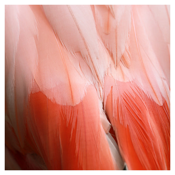 Flamingo #10 - Fine Art Photograph