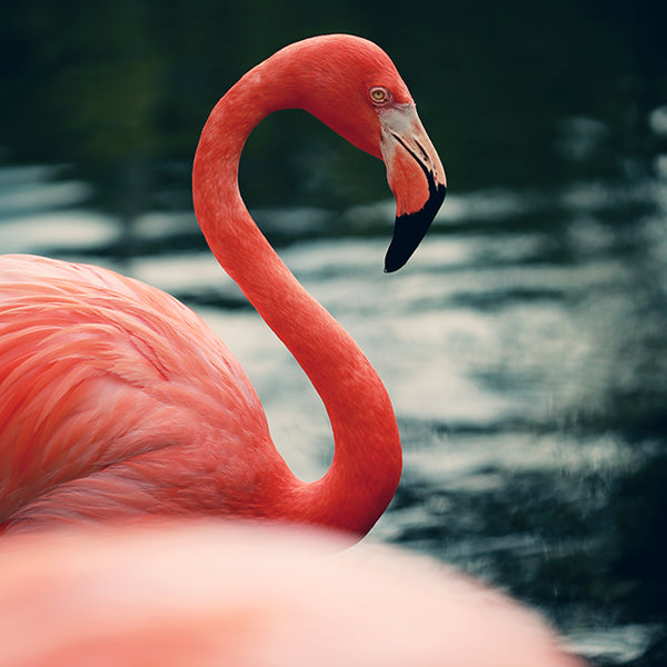 Flamingo #14 - Fine Art Photograph