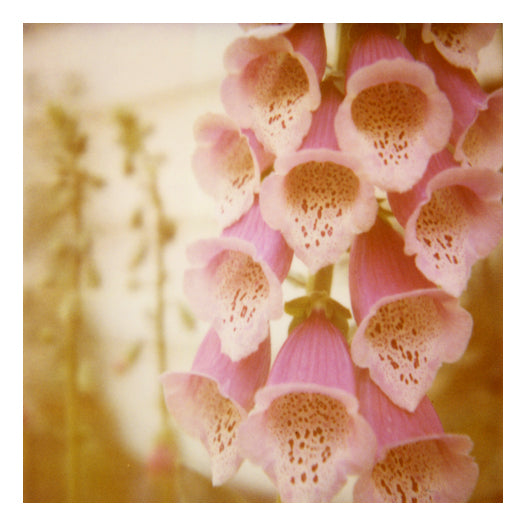 Friday Outlet- Foxglove 8x8