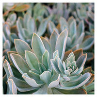 Graptoveria Study #1 -  Fine Art Photograph