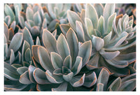 Graptoveria Study #2- Fine Art Photograph